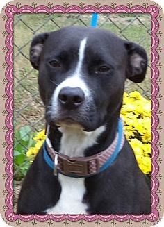 Act quickly to adopt CASSIE. Pets at this Shelter may be held for only a short time.Marietta, GA - Pit Bull Terrier Mix. Meet CASSIE a Dog for Adoption.
