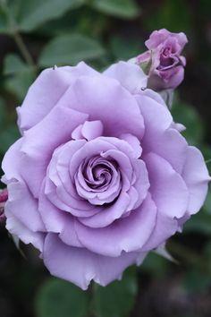 "Rose ""Sweet Moon"" - Lilac - Hybrid Tea Rose - Bred by Kikuo Teranishi (Japan, 2001)"
