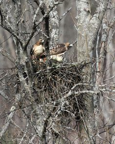 Red-tailed hawks on eggs by Mary Holland of Naturally Curious