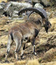 Walia Ibex (Capra walie)
