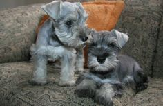 Miniature Schnauzer puppies! Future brother or sister for Oswald?
