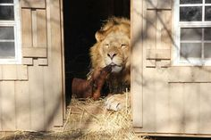 """Bonedigger is a 5-year-old male lion who was born with metabolic bone disease and could not walk. He was raised with a """"pride"""" of Daschunds. They formed an unusual bond and became best friends – the dogs slept with him, ate out of his food bowl and played with him even though he could not walk. Exotic Animal Park, Oklahoma provides homes for abandoned animals"""