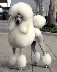 Perfection (lots of work, but trust me, these poodles absolutely ADORE the grooming and attention! or else I wouldn't be a groomer!)