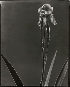 Solarized Flower Study 2 (Iris) by Edward Steichen Photography Gallery, Glamour Photography, Art Photography, Iris, Edward Steichen, Anne Sophie, Alfred Stieglitz, Delphine, Famous Photographers