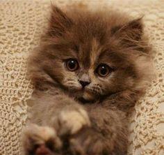 Tiny Polydactyl Kitten – 30th November 2017