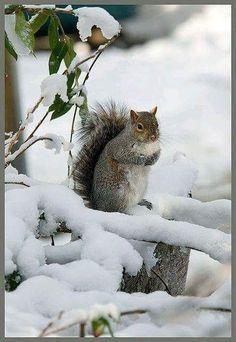 Squirrel in Winter snow Beautiful Creatures, Animals Beautiful, Animals And Pets, Cute Animals, Winter Szenen, Winter Travel, Photo Animaliere, Cute Squirrel, Squirrels