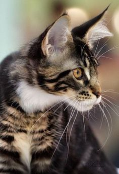 .kitty cat with beautiful face