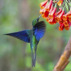 This beatiful Great Sapphirewing hummingbird was photographed in a protected area in Ecuador callled Yanacocha Reserve. It hosts amazing animals just as this one. Photographed with my @sonyalpha6000 . . #hummingbird #ecuador #southamericaphotography #jungle #rainforest #allyouneedisecuador #photography #travel #bluehummingbird #picoftheday #photooftheday #happy #natgeo #bbctravel #natgeotravel #yourshotphotographer #travelblog #fun #love #instagood #instamood #cutehummingbird #bird #wings…