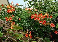 Bignones grimpantes oranges