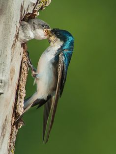 Tree Swallow - Lunch Time :)