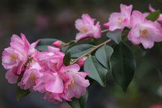 "Camellia hybrid ""Alpen Glo"""