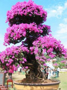 Bougainvillea Bonsai trees in Majorca, Spain