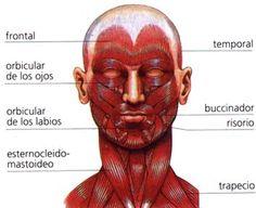 Els músculs del cap i el coll