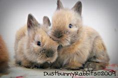 I miss my baby lionhead bunnies!