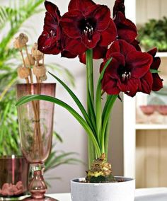 Large-Flowered Amaryllis 'Black Pearl' | Flower Bulbs from Spalding Bulb