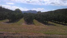 MATAKANA MANDARINS - Matakana is famous for its vineyards and wines but mandarins and olives are also main Matkana area crops. Beautiful orchards on a beautiful Matakana summer day! Get more about the best of Matakana here..  http://www.matakanacountry.co.nz/markets-lodging-accommodations-auckland-coast-wine-country-hotels/the-best-of-matakana-things-to-do-in-matakana-nz-auckland-wine-region-area-attractions/ #matakana #vineyards #travel