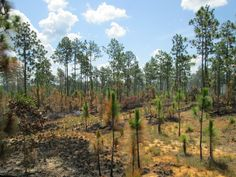 Controlled burn used for forest management. Picture taken in Alabama