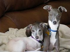 Italian Greyhounds #hypoallergenic They love to snuggle and get under blankets :)