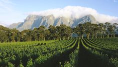 It's 3 O'Clock in South Africa. An Insider's Guide to South Africa's Cape Winelands Oh The Places You'll Go, Places To Travel, Places To Visit, South African Wine, Wine Safari, Cape Town, Vineyard, Wine Tasting, Outdoor