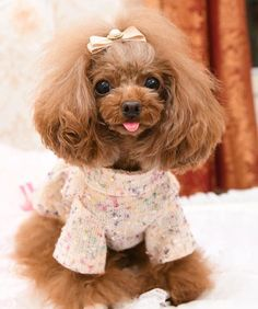 Toy Poodles, Teddy Bear, Toys, Friends, Scenery, Animales, Activity Toys, Amigos, Clearance Toys