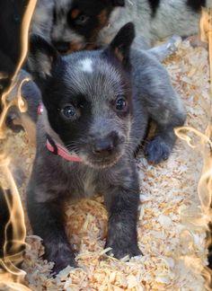 Cutie pie Australian Cattle Dog Puppy, Austrailian Cattle Dog, Baby Animals, Cute Animals, Blue Heelers, Crazy Dog Lady, Cattle Dogs, Dog Rules, Mans Best Friend