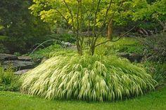 golden japanese forest grass plant