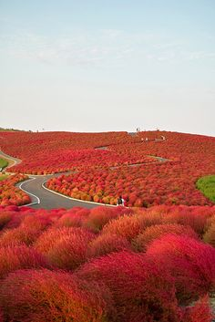 Kochia field at Hitachi seaside park, Hitachinaka, Ibaraki, Japan