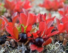 Black Bearberry, photo by Harri Pulli