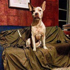 #akira the #batdog  #pitbull #pitbulllovers_ #pitbullsofinstagram #pitbullsareteddybears #apbt #rednose #rednosepitbull #amstaff Photo : http://bit.ly/1V8iGvA