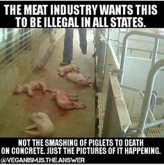 This is horrendous and so cruel! These poor babies go through such pain and suffering. Wake up people and please go vegan! Vegan Facts, Vegan Memes, Vegan Quotes, Vegan Humor, Why To Go Vegan, Reasons To Be Vegan, Going Vegan, Factory Farming, Stop Animal Cruelty