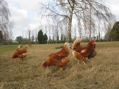 Some of our girls enjoying the slightly milder days, foraging around in the foliage