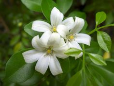 Murraya orange jasmine is a great choice if you're looking to attract bees, birds or butterflies to your garden. Caring for this shrub is surprisingly simple. Find out more about orange jasmine plants in this article.