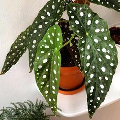 #begoniamaculata #forellbegonia #änglavinge #enkelinsiipi #begonia #indoorplant #indoorplants #indoorgarden #indoorgardening #urbanjungle #urbanjunglebloggers #hemmahososs