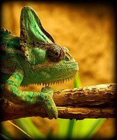 Chameleon Camouflage | Flickr - Photo Sharing!