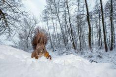 a hóhányó mókus