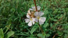 Flores de mi tierra, Montería, Córdoba, Colombia