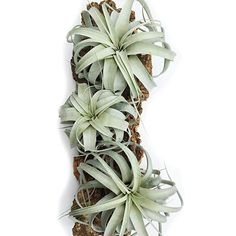 3 Pack of Large Xerographica Air Plants - 5 to 7 Inches Wide - Free Air Plant Care Ebook By Jody James : Garden & Outdoor Big Indoor Plants, Big Plants, Indoor Cactus, Indoor Herbs, Growing Plants, Air Plant Display, Plant Decor, Air Plant Terrarium, Succulent Plants