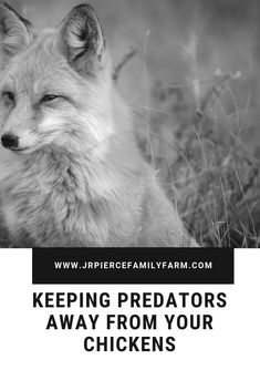 From foxes eating your chickens to hawks swooping down from the sky, there is no shortage of predators who will make a meal out of your hens. Consider these tips to keep predators away from your birds. Raising Farm Animals, Raising Ducks, Raising Chickens, Fox Eat, Chicken Feed, Chicken Coops, Gardening Tips, Vegetable Gardening, Container Gardening
