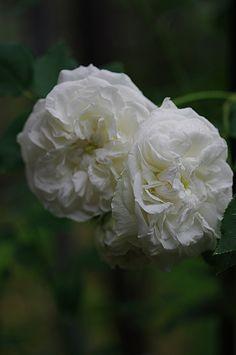 Bourbon Rose: Rosa 'Perle des Blanches' (France, 1872)