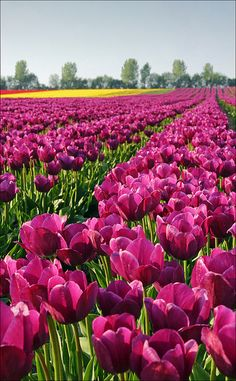 Tulip field, Magdeburg, Germany