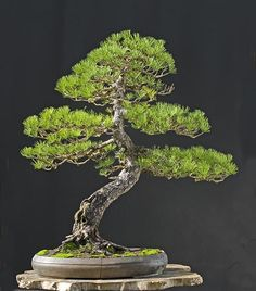 Bonsai Gallery of Walter Pall mugo pine