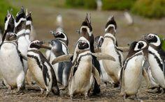 Новости про животных: Пингвины - верные любовники в мире животных.