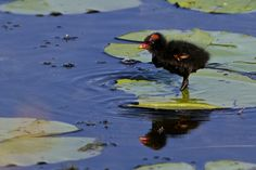 Common Moorhen chick - Ritch Grissom Memorial Wetlands (Viera Wetlands), Melbourne, Florida  I see moorhens walking on lily pads quite often, but they have to keep moving or sink.  This guy, however, was able to take up residence on its pad and set up housekeeping.