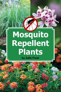 Discover how to repel Mosquitoes naturally with beautiful plants from the experts at @clovergarden!
