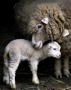 Schaap met lam, lief he?! Het boerderijleven, leven, boerderij, boeren.