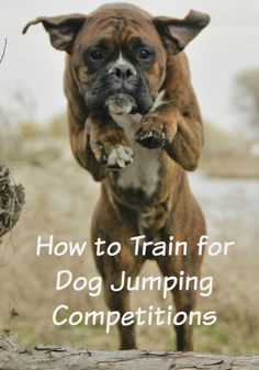 How to Train for Dog Jumping Competitions.  Interested in getting your dog into jumping competition?  Click this to learn how to train him!