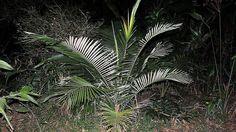 A Lytocaryum weddellianum (H.Wendl.) Toledo é uma bela espécie de palmeira pertencente a família botânica Arecaceae endêmica do Brasil e encontrada em seu habitat natural principalmente nas matas do Estado do Rio de Janeiro, que ficou conhecida popularmente como Palmeira de petrópolis.