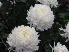 Indické chryzantémy: odrezky a starostlivosť. Indický chryzantéma: popis, pestovanie v otvorenom poli, foto, video Plants, Plant, Planets