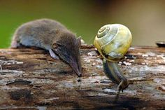 Worlds Smallest Known Mammal (by Mass) - Etruscan shrew also known as the Etruscan pygmy shrew or the White-toothed pygmy shrew.