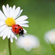 Ladybird / Ladybug by Tamara Kwan, via Ladybug Garden, Ladybug Art, Beautiful Bugs, Beautiful Flowers, Nature Animals, Baby Animals, All Gods Creatures, Stone Art, Lady Bugs